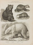 Full Page Illustration of Genus Ursus. Illustrations are of Ursus Americanus; U. Maritimus; U. Gulo; and U. Meles.