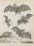 Full Page of illustrations of bats.