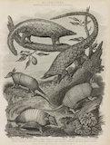 Series of illustrations of Manis' and Armadillos.
