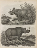 Two illustrations of Rhinoceros': One horned Rhinoceros and Two horned Rhinoceros.