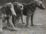 Airedale Terriers Wearing Gas Masks