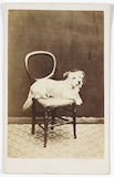 A carte-de-visite of a small dog on a chair, taken by an unknown photographer in about 1865.