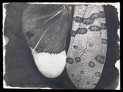 Insect wings by Fox Talbot, c 1840.