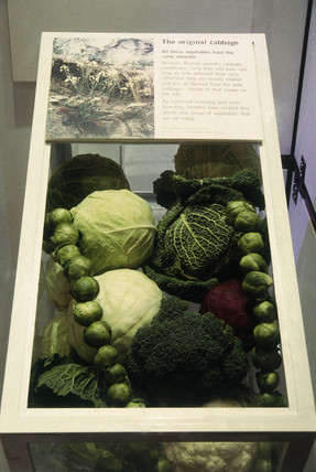 Cabbages display from Future Foods, a tempo