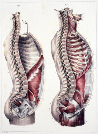 Vertical cut of the human trunk, c 1859.
