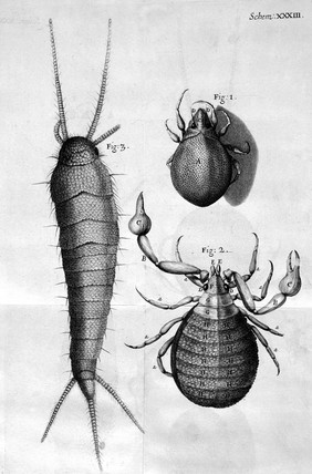 Insects, micrographs,  1664.