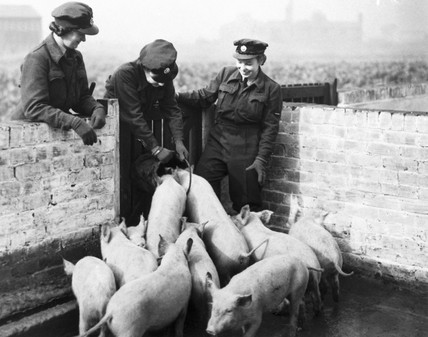 WAAFs feeding pigs, WWII. During the war th
