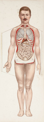 The internal organs, late 19th-early 20th century.