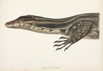 Java Water Monitor, Indonesia, 1837-1844.