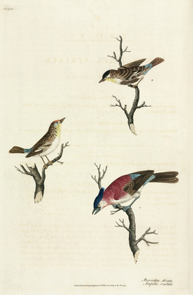 Spotted flycatchers and waxwing, 1776.
