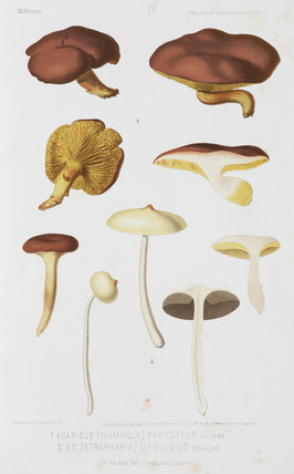 Two types of agaric mushroom, c 1874.