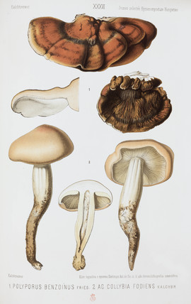 Two types of mushroom, c 1874.