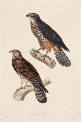 Birds of prey, 1837-1840.