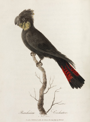 'Banksian Cockatoo', 1789.
