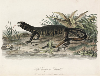 'The Variegated Lizard', 1789.