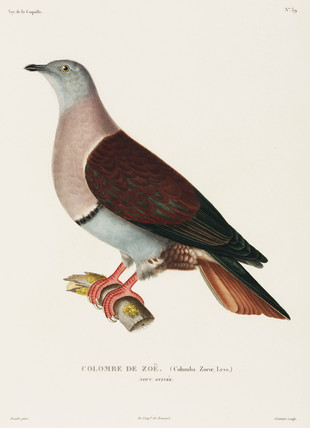 Zoe's dove, New Guinea, 1822-1825.