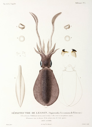 Bigfin Reef Squid or Oval Squid, New Guinea, 1822-1825.