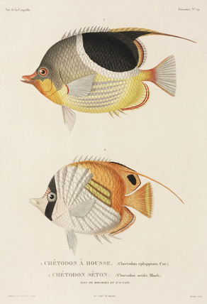 Saddleback and Auriga butterflyfishes, South Pacific, 1822-1825.