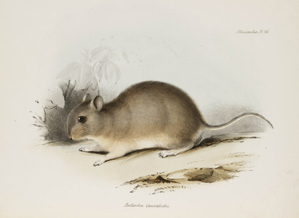 Rodent, c 1832-1836.