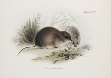 Mouse, Tierra del Fuego, South America, c 1832-1836.