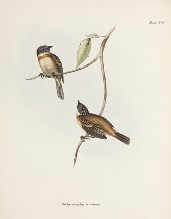 Becard birds, South America, c 1832-1836.