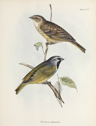 Pair of sparrows or finches, c 1832-1836.