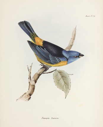 Blue and yellow tanager, South America, c 1832-1836.