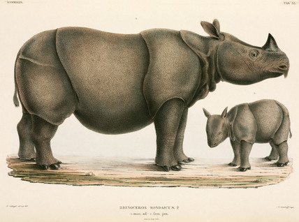 Adult and young rhinoceros, Indonesia, 1839-1844.