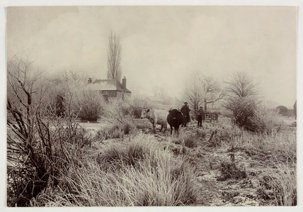 Cows in a frosty field, c 1890.