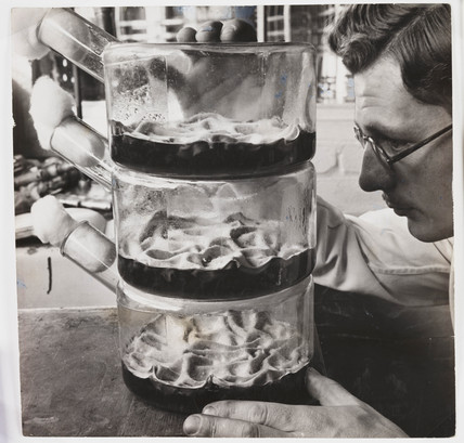 Flasks growing penicillin culture, 1943.