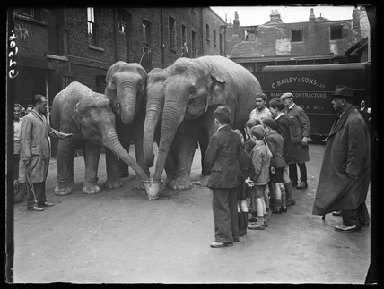 Circus elephants taking a drink, 1938.