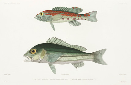 Barred serrano seabass and Blue and gold snapper, 1836-1839.