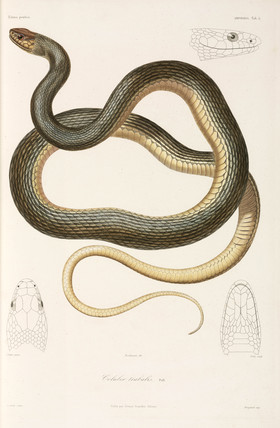 Snake, (Coluber trabalis), Black Sea area, 1837.