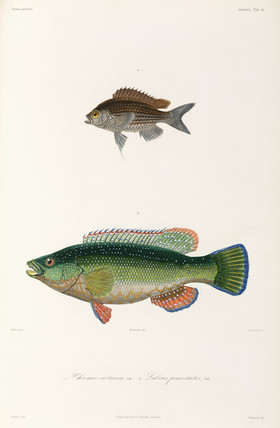 Two types of fish, Black Sea, 1837.