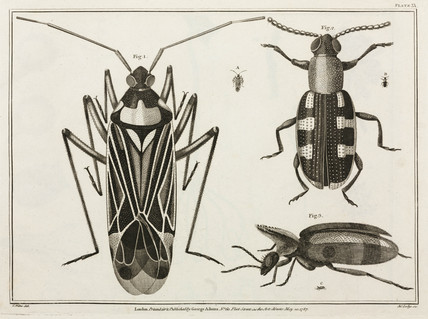 Magnified beetles, 1787.