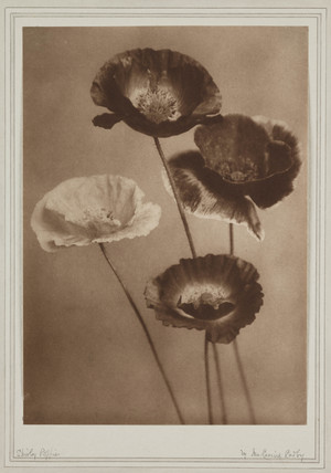 'Shirley Poppies', 1901.