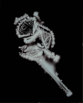 Kirlian photograph of a rose.