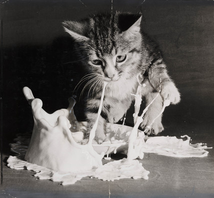 Kitten landing in a saucer of milk, 1953.