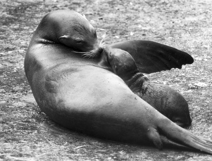 Baby sealion with its mother, June 1984.
