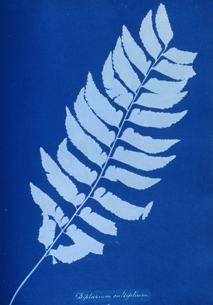 Cyanotype of Diplazium cultifolium, 1853.