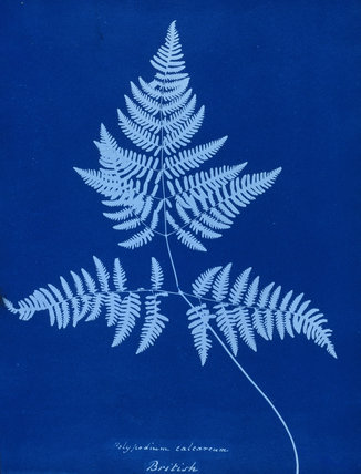 Cyanotype of Polypodium calcareum, 1853.