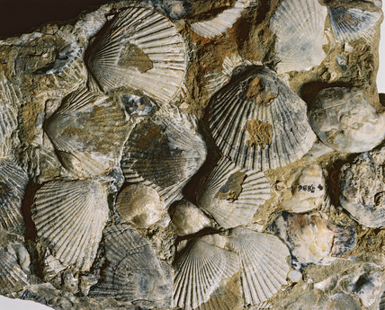 Fossil Oyster And Scallop Shells New Zealand 1996 At