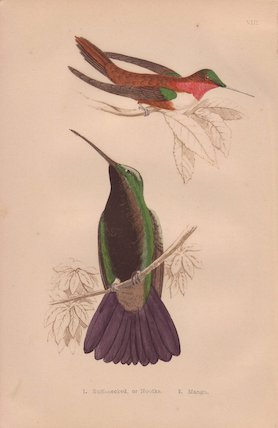 Ruff-necked and black-throated mango hummingbird