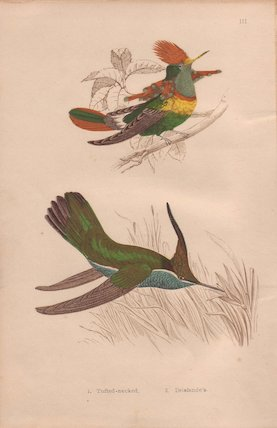 Tufted-necked and Delalande's hummingbird