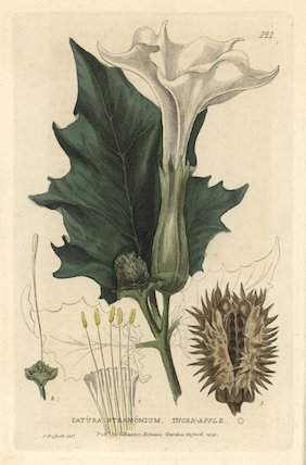 Thorn apple Datura stramonium