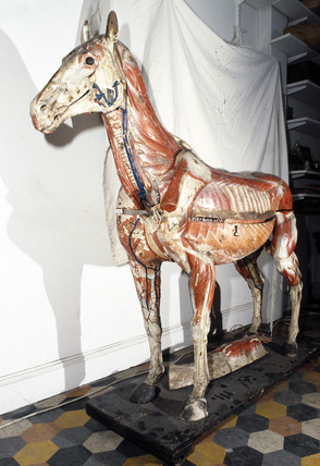 Anatomical model of a horse, c 1850-1880.