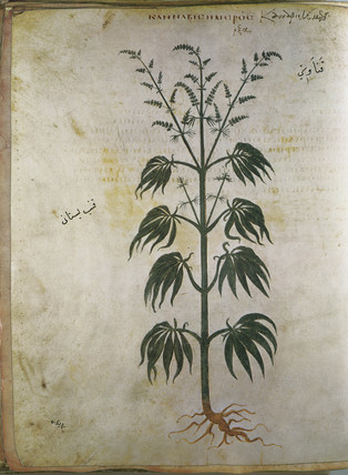 Hemp. An illustration from the Dioscorides