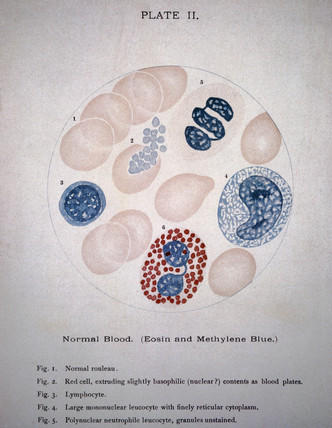 Illustration showing a microscopic view of blood cells, 1901.