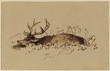 Stag lying down