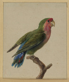 Green and red parrot